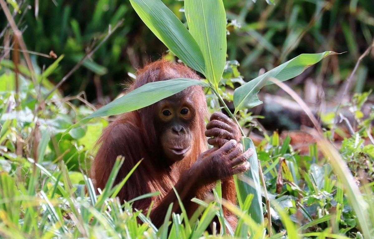 Un orang-outan dans un zoo britannique. – Paignton Zoo/Cover Images.