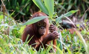 Un orang-outan dans un zoo britannique.