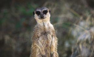 Le suricate serait le mammifère le plus meurtrier.