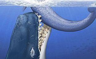 Vue d'artiste du Léviathan melvillei, un cachalot géant qui vivait il y a 12 millions d'années