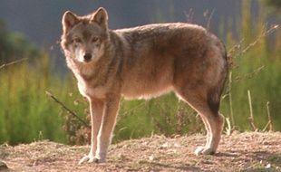 """Le préfet de Lozère autoris le """"tir de prélèvement renforcé"""" d'un loup sur le causse Méjean, où 12 attaques de troupeaux ont eu lieu en 2016, dont sept depuis début juin"""