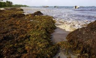 Photo prise le 28 juillet 2011 sur la plage de la commune de Saint-Anne, d'algues sargasses envahissant les côtes de la Martinique