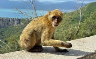 Un macaque de barbarie (Illustration).
