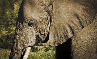 Un éléphant (illustration).