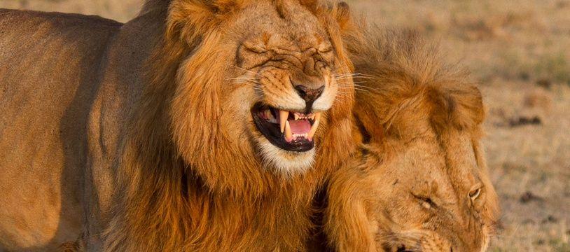 Des lions.