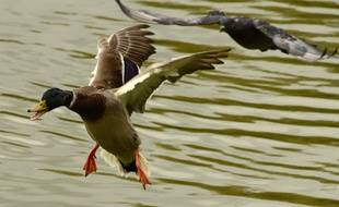 Illustration d'un canard.