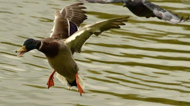 Video espagne un d fenseur des animaux frapp coups de - Illustration canard ...