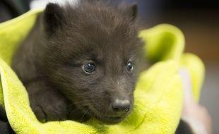 Né au parc Alpha, le petit loup mesure 51 cm pour 2 kg.