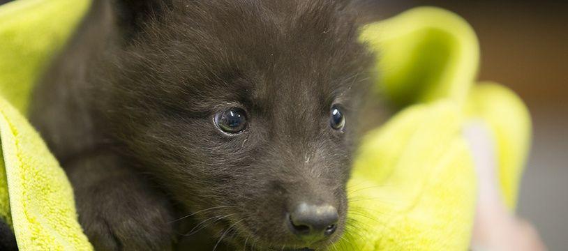 Les deux nouveaux-nés sont des loups noirs du Canada, la même espèce que Fenrir, né en 2018