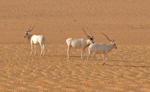 Des antilopes addax, sur une photo fournie par l'Union internationale pour la conservation de la nature (UICN)