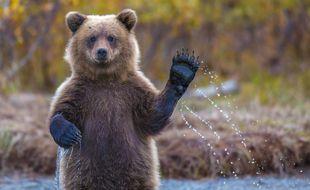 L'un des quatre documentaires présentés à Novaq tire le portrait de l'ours des falaises, qui peuple les monts cantabriques au nord de l'Espagne. Le joyeux spécimen qui nous fait l'honneur d'illustrer cet article vit, lui, au Canada.