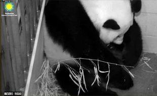 Photo fournie le 23 août 2013 par le zoo national de Smithsonian à Washington montrant une femelle panda géant, venue de Chine, ayant donné naissance à un bébé conçu par insémination artificielle