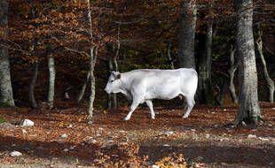 Photo d'illustration d'une vache, en novembre en Italie.