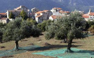 Des oliviers à Sainte-Lucie-de-Tallano en Corse le 4 novembre 2014