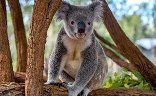 Illustration d'un koala.