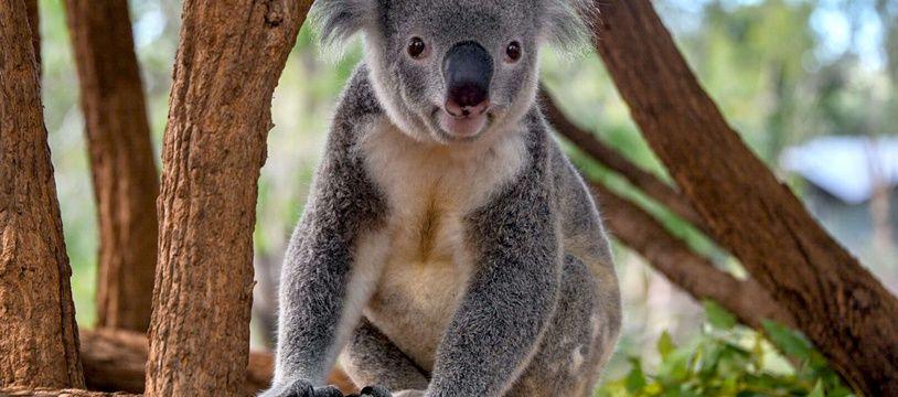 Le koala est une espèce menacée en Australie.
