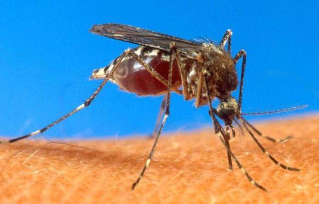 Le moustique aedes aegypti est le principal vecteur du virus de la dengue