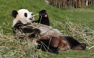 Ath, Belgique, le 1er avril 2014. L'un des deux pandas du parc Pairi Daiza, Hao Hao et Xing Hui.