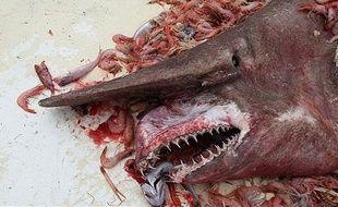 un requin gobelin remonté dans les filets d'un pêcheur au large du Mexique