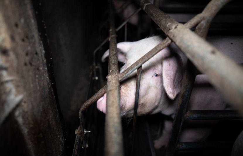 VIDEO. Finistère : Un élevage porcin épinglé par L214 dans une nouvelle vidéo choc
