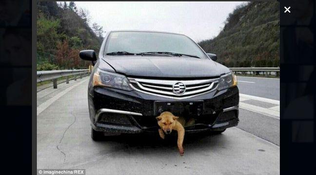 un chien percut u00e9 par une voiture  reste coinc u00e9 400 km dans le pare