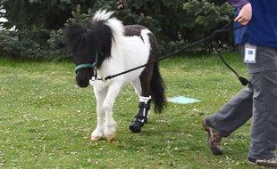 Amputé d'une jambe, le petit poney peut à nouveau marcher après s'est fait poser une prothèse conçue par une imprimante 3D.