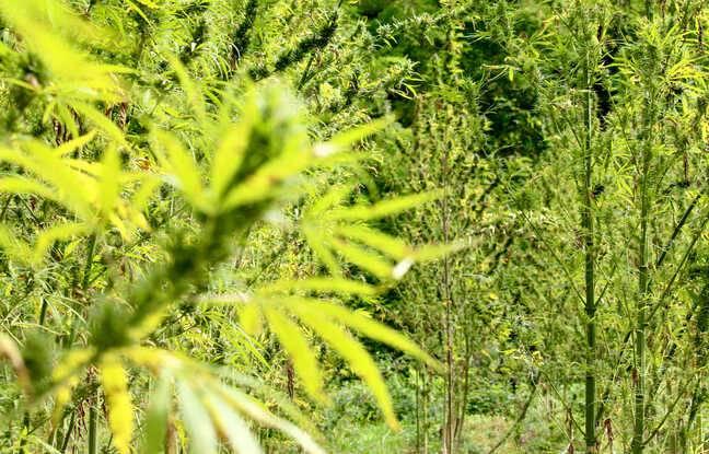 Champ de cannabis de La Ferme Médicale en Gironde