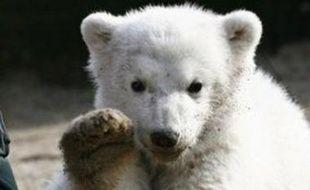 Knut, l'ourson vedette du zoo de Berlin, déclenche l'hystérie lors de chaque apparition.