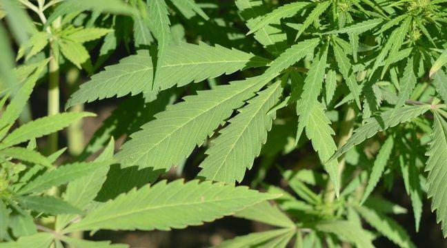 Var : Le quinquagénaire cultivait une trentaine de pieds de cannabis
