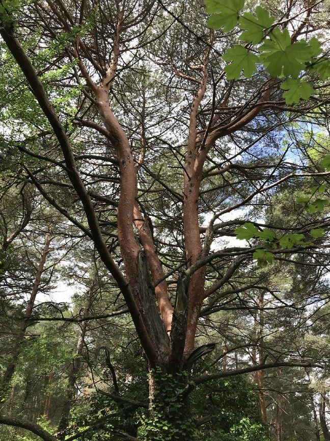 Un pin sylvestre.