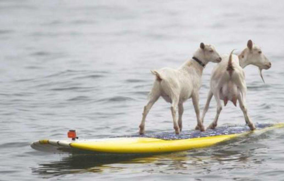 Goatee la chèvre et son petit Plismo sur une planche de surf, en Californie, le 11 juillet 2012. – ROD VEAL/AP/SIPA