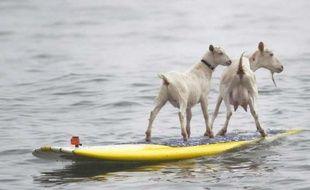 Goatee la chèvre et son petit Plismo sur une planche de surf, en Californie, le 11 juillet 2012.