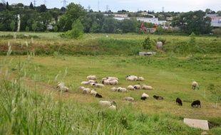 Le troupeau est au Mas Nouguier, à Montpellier.
