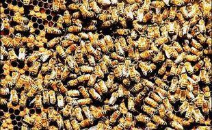 La célèbre police montée du Canada s'est vue confier une mission inhabituelle: retrouver un essaim d'abeilles qui s'est enfui à la suite d'un coup d'Etat au sein de sa ruche.