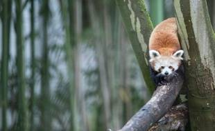 Après un an de solitude, Pong a accueilli la jeune Mambo, deux ans, dans son enclos du zoo de Lille (illustration)