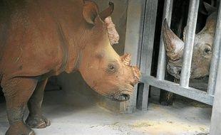 L'une des deux femelles venues d'Afrique a rencontré Max, le mâle, hier.
