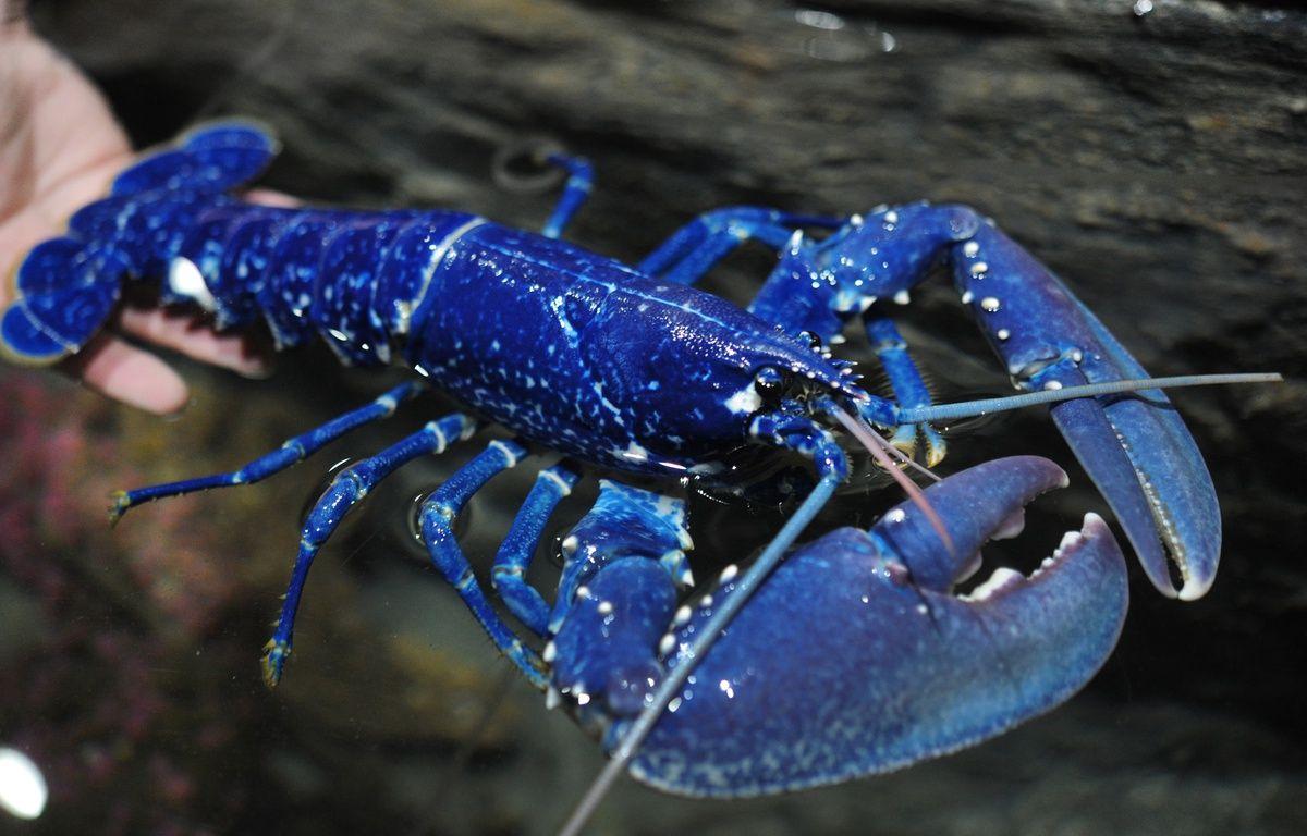 Pêché il y a quelques jours dans la baie de Saint-Brieuc, le homard bleu a rejoint l'aquarium Océanopolis. – Fred Tanneau / AFP
