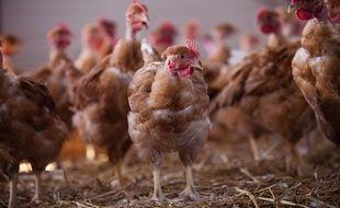 Illustration d'une exploitation de poulets.