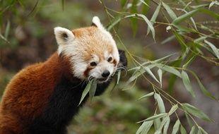 Un des deux pandas roux du zoo de Lille.