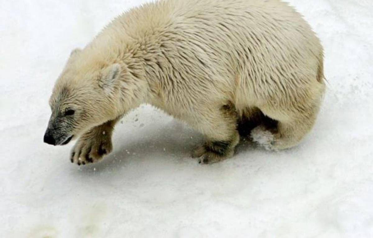 Les ours polaires et leurs proches parents ont divergé il y a environ 600.000 ans, soit beaucoup plus tôt qu'estimé jusqu'alors, selon une nouvelle analyse génétique publiée jeudi aux Etats-Unis. – Maxim Marmur afp.com