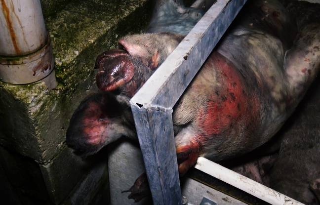 Un cochon mort au milieu de ses congénères, dans cet élevage du Tarn.