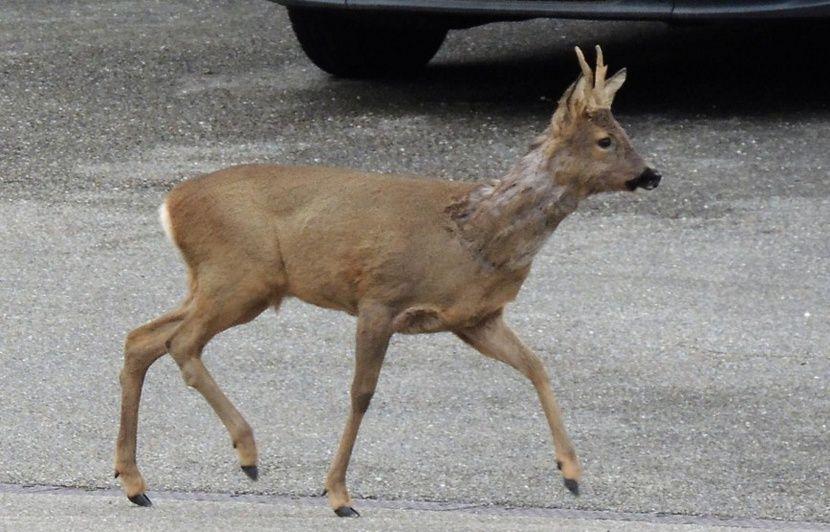 Côtes d'Armor: Elle percute des chevreuils, un homme égorge les animaux et part avec