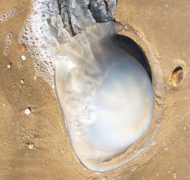 Méduse échouée sur une plage de Gironde.