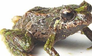 La grenouille Prsitimantis mutabilis.