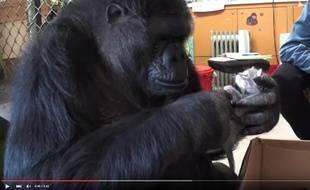 Koko le gorille se prend d'affection pour un chaton.