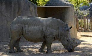 Un rhinocéros blanc du zoo de Paris
