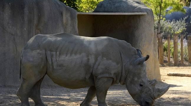 Video yvelines un rhinoc ros du zoo de thoiry tu par for Zoo yvelines 78