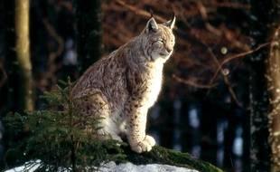 Photo d'un lynx boréal  prise dans la forêt du massif vosgien, prise le 08 janvier 2004.
