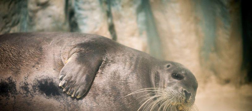 Le 27 octobre 2018, à Brest (Finistère). Un phoque barbu, à l'aquarium Océanopolis.