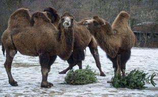 Illustration de chameaux.